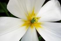 White-primrose-flower-yellow-centre