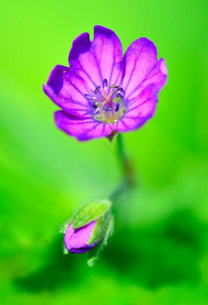 Dsc1940-violet