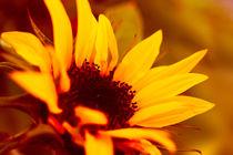 Sonnenblume von dresdner