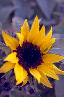 Sonnenblume by dresdner