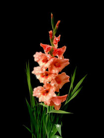 Gladiolus Superstar by Henry Selchow