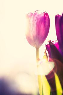 Purple tulips von Lars Hallstrom