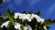 Weißdornblüte by tinadefortunata