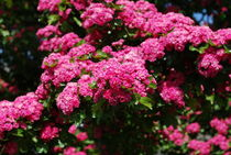Paul's Scarlet Blüten by tinadefortunata
