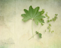 Alchemilla vulgaris von Franziska Rullert