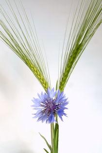 Getreide von Kerstin Runge