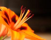 Lilie orange von Franziska Giga Maria