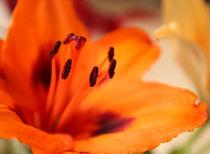 Lilie organge von Franziska Giga Maria
