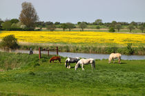 Weide am Fluß - Grazing on the river by ropo13