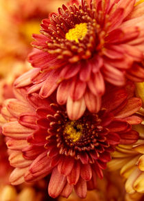 Autumn Mums by Shannon Workman