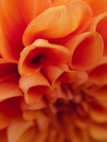 Orange Dahlia von Shannon Workman