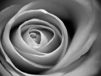 Rose-223899
