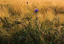 Kornblume im Feld von Wolfgang Dufner