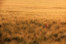 Mohnblume im Feld by Wolfgang Dufner