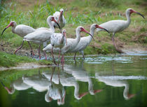 Group Of White Ibis by Zach Dalzell