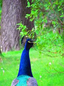 Peacock von Katia Zaccaria-Cowan