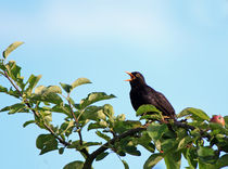Amsel by Wolfgang Dufner