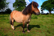 Bertie the Shetland Pony  von Rob Hawkins