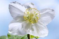 Schneerosenblüte von Christoph Hermann