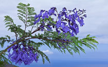 Jacaranda Mimosifolia  by monarch