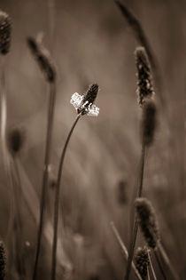 Ribwort Plantain 3 by David Hunter