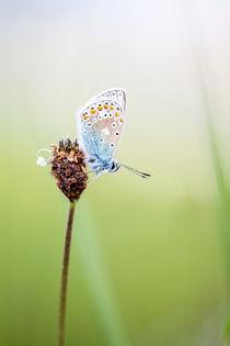 Common Blue Butterfly von David Hunter