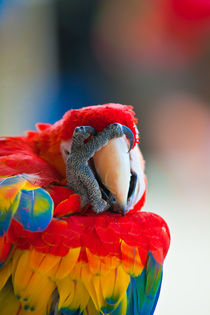 OH NO !  Scarlet Macaw by Craig Lapsley