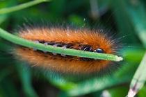 Orange-and-black-caterpillar-2802