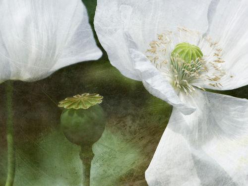 White-poppy-impression