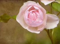 Heritage-Rose by Franziska Rullert