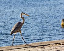 Great Blue Heron Strut von Roger Wedegis
