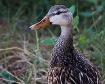 Florida Mottled Duck by Roger Wedegis