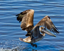 Pelican Takeoff by Roger Wedegis