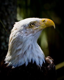 Proud Bald Eagle by Roger Wedegis