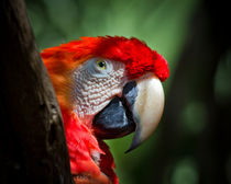 Scarlet Macaw by Roger Wedegis