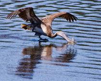 Pelican Splashdown by Roger Wedegis