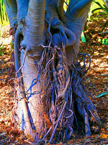 Moreton Bay Fig Tree von Margaret Saheed