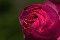 Rose Leonardo da Vinci by Anja Abel