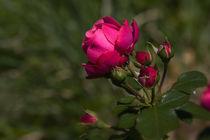 Rose Leonardo da Vinci von Anja Abel