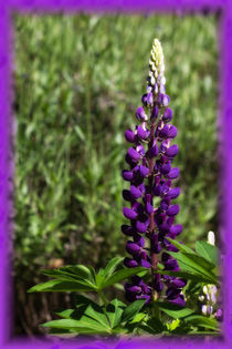 Lupine by Anja Abel