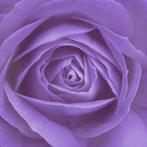 Rose lila von Christine Bässler