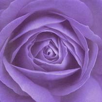 Rose lila by Christine Bässler
