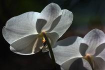 Orchidee im Gegenlicht von Anja Abel