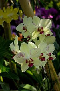 Gelbe Orchidee by Anja Abel