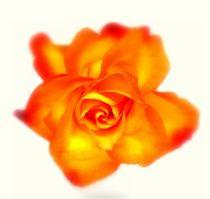 Rose by Kerstin Runge
