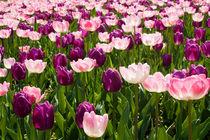 Tulpen von axvo-fotografie