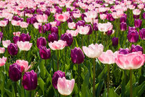 Tulpen by axvo-fotografie