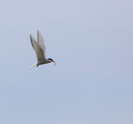 Arctic-tern0035