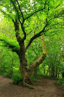 Beech-tree0095