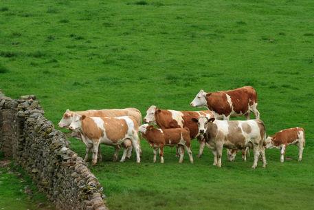 Cattle-in-wensleydale0167